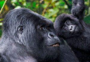 324012 Days Tour To Kenya Wildlife and Uganda Gorilla Safari (Lodging)
