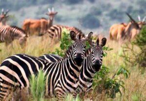321414 Days Tour to Kenyan Wildlife and Uganda Gorilla Safari (Camping)