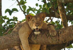 31623-Day Queen Elizabeth National Park Safari (Camping)
