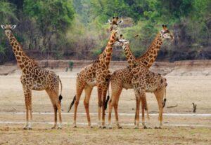 32576 Days South Luangwa NP Luxury Safari (Lodging)