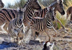 31429 Day Tour Victoria Falls, Hwanga NP & Chobe NP Safari SS (Budget-Mid Lodging)